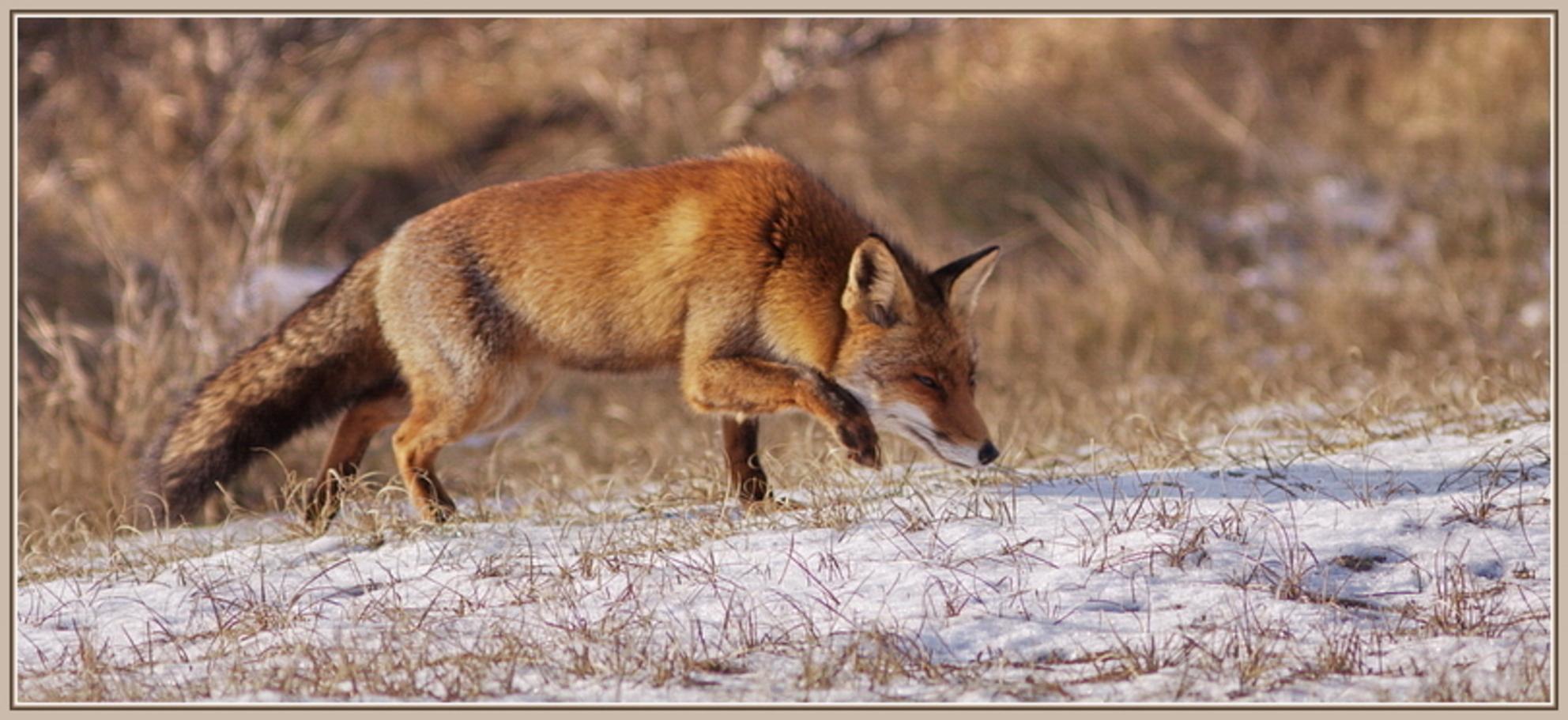 Sluipend, op zoek naar prooi - Vossen kunnen zo mooi sluipen. Op zoek naar hun prooi. Die blik in hun ogen; op oneindig. - foto door agnes bax op 04-01-2010 - deze foto bevat: vos, fox, roofdier, zoogdier, sluipen, Vulpes vulpes