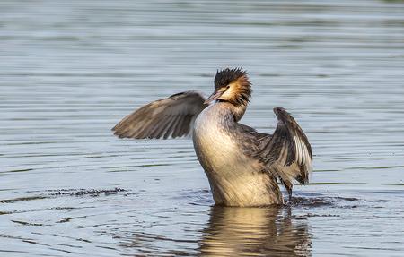 Badderende Fuut - - - foto door ronwestbroek op 05-01-2021 - deze foto bevat: water, natuur, vogel, fuut, watervogel, wildlife