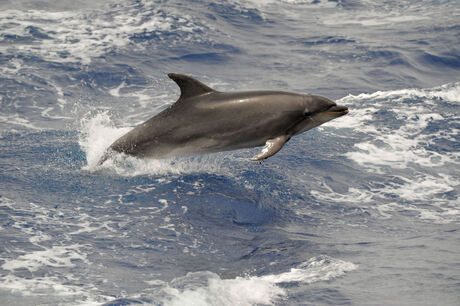 Spelende Dolfijn