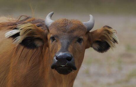 Rode Bosbuffel