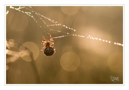 Kunstwerkje - Spinnen maken ware kunstwerkjes. Dauwdruppels en tegenlicht maken het compleet.  Groetjes Wiesje - foto door Labjoy op 06-11-2011 - deze foto bevat: macro, spin, tegenlicht, dauw, labjoy