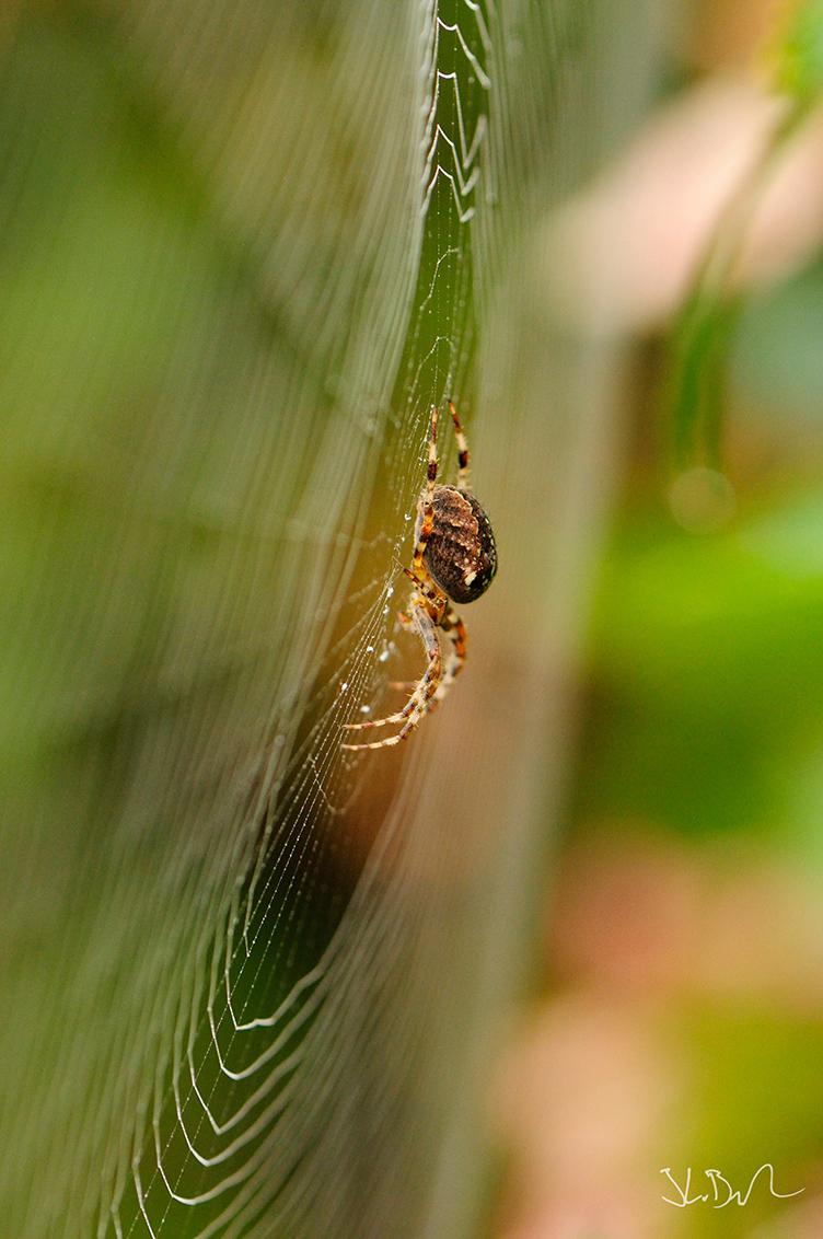 Herfst - Op zaterdagmorgen een mooie herfstfoto gemaakt. Het was een beetje mistig, wat een mooi effect geeft op het spinnenweb. Ver hoefde ik er niet voor te - foto door joostopzoomnl op 22-09-2014 - deze foto bevat: groen, kleur, macro, natuur, spin, bruin, kruisspin, herfst, tuin, web, spinnenweb, nikon, scherptediepte, joost, bokeh