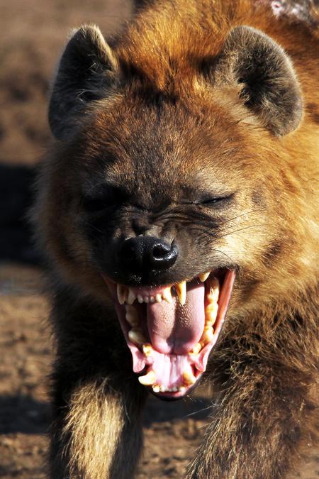 Lachende hyena - Lacht deze gevlekte hyena nu of is het toch gewoon een gaap. - foto door informatie2us op 21-02-2015 - deze foto bevat: hyena, lachen, ziezoo