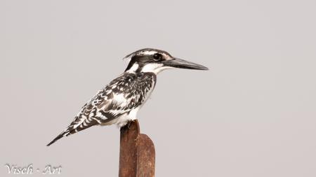 Bonte IJsvogel (Ceryle rudis); - Mooie bonte ijsvogel in Burkina Faso(west Afrika) - foto door visch-castle op 23-03-2015 - deze foto bevat: vogel, africa, ijsvogel, bonte ijsvogel, burkina faso