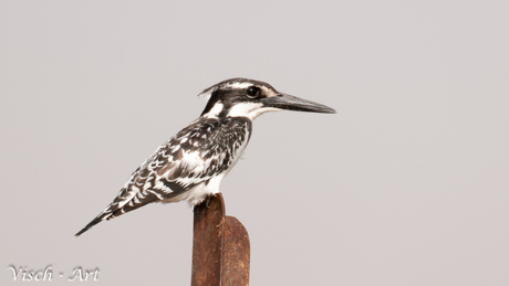 Bonte IJsvogel (Ceryle rudis);