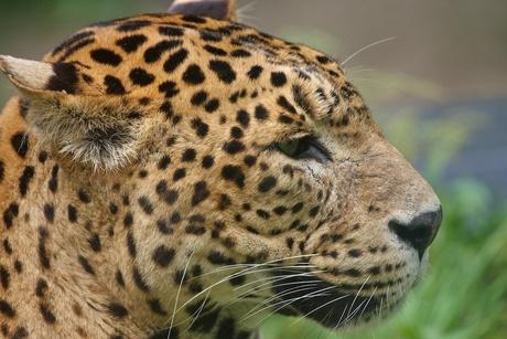 Luipaard close-up