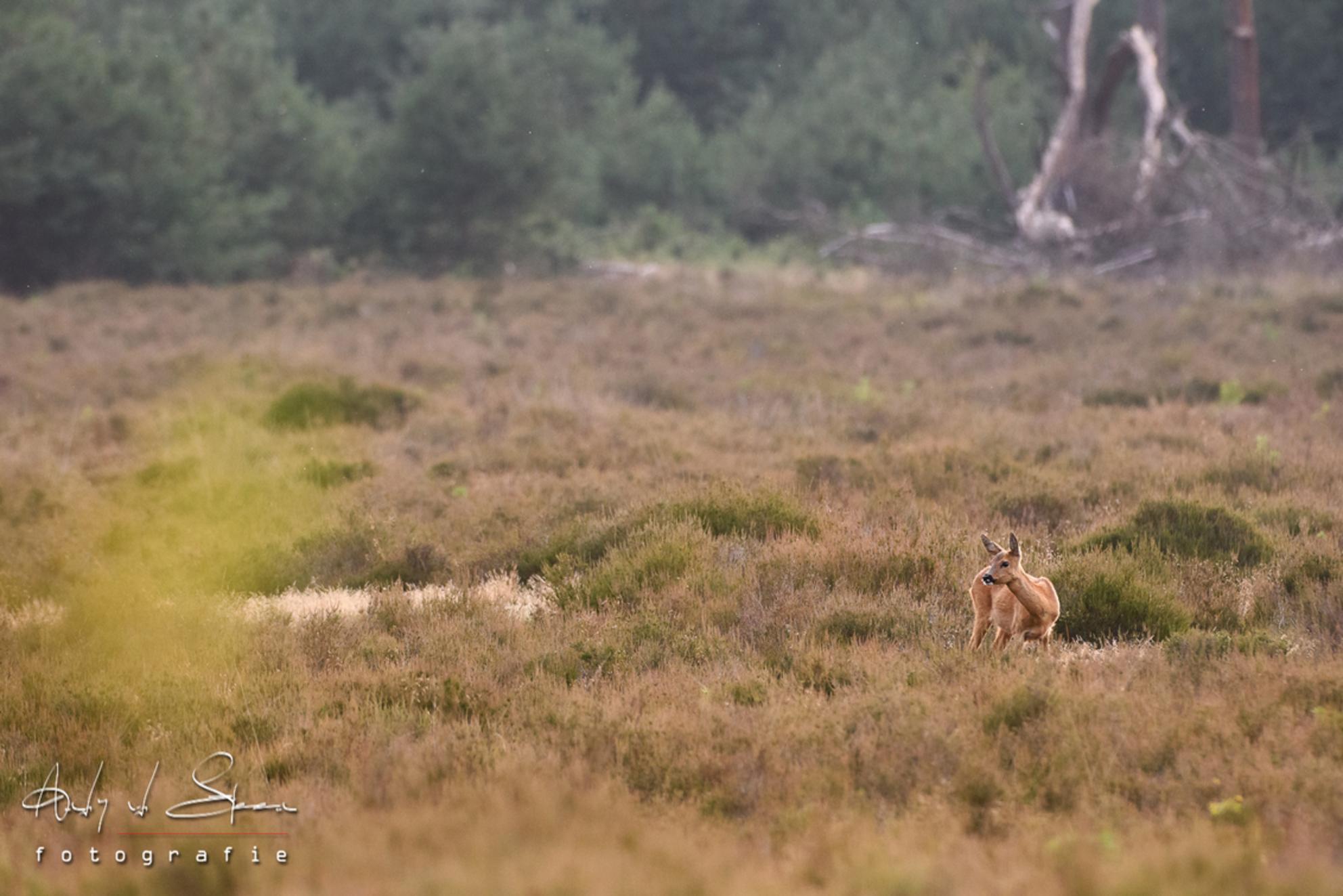 ree - - - foto door AndyvdSteen op 27-07-2020 - deze foto bevat: ree, reeen, reetjes, reetje, hogeveluwe, Park de Hoge Veluwe, Nationaal park de hoge veluwe, nationaalparkhogeveluwe, nationaalparkdehogeveluwe, parkdehogeveluwe, parkhogeveluwe - Deze foto mag gebruikt worden in een Zoom.nl publicatie