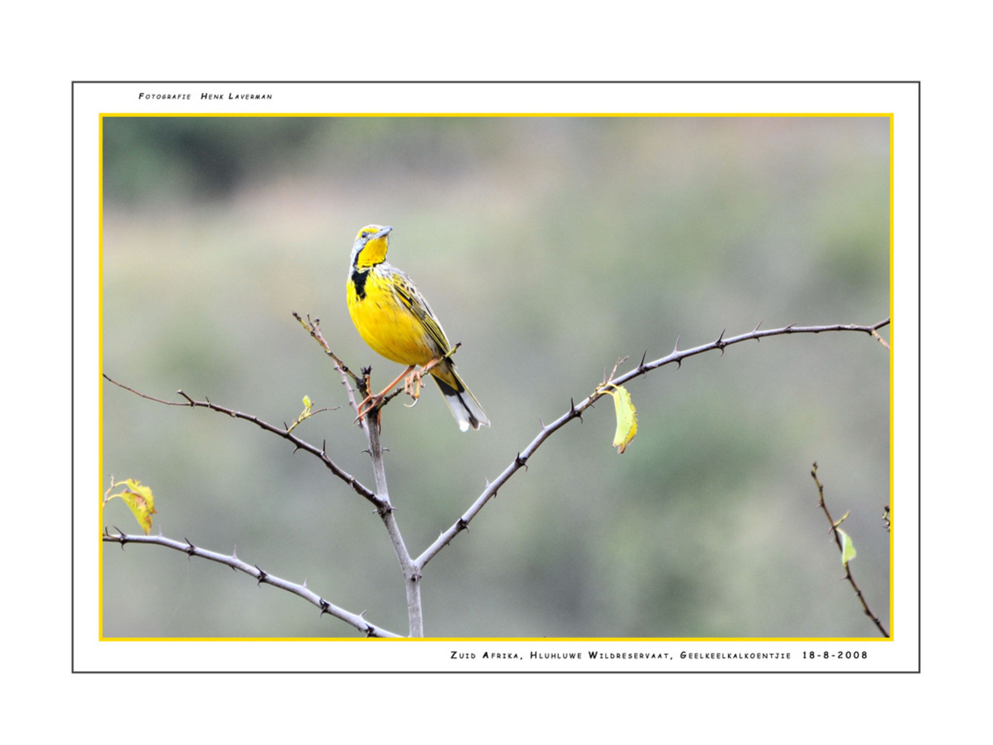 Geelkeelkalkoentjie - Tijdens het bezoek aan het Hluhluwe Wildreservaat kwamen wij deze prachtige zangvogel (Yellow-Throated) tegen. Zijn gele verschijning zorgde ervoor d - foto door Henk Laverman op 10-05-2009 - deze foto bevat: natuur, dieren, safari, yellow, zuid, afrika, wildlife, zangvogel, throated, geelkeelkalkoentjie