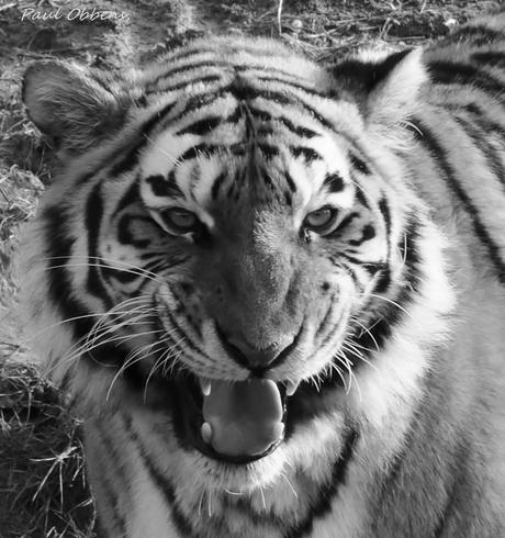 Deze tijger had geen zin om op de foto tegaan.)