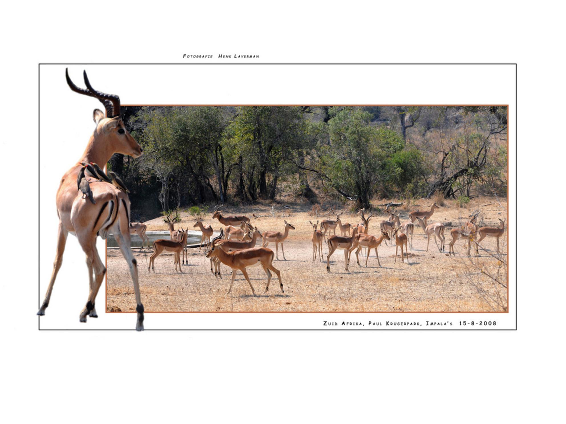 Impala's Paul Krugerpark - Tijdes onze rondreis van Zuid Afrika hebben wij ook een topdag gehad in het Paul Krugerpark. Deze Impala's trokken onze aandacht. Ze waren redelijk o - foto door Henk Laverman op 17-05-2009 - deze foto bevat: natuur, dieren, safari, zuid, afrika, paul, wildlife, zoogdieren, impala, krugerpark, ossenpikkers