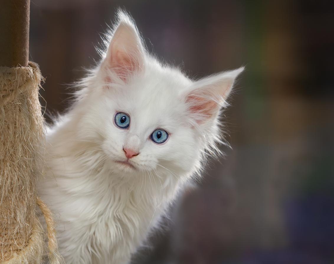 Say what - heerlijk die spelende kittens, kon er geen genoeg van krijgen  iedereen weer bedankt voor de leuke reacties  gr Monique - foto door monique68 op 14-01-2016 - deze foto bevat: kitten, kat, jong, main coon