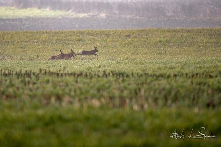 hazen - - - foto door AndyvdSteen op 03-03-2021 - deze foto bevat: natuur, dieren, haas, wildlife, hazen, rammelen, rammelende hazen