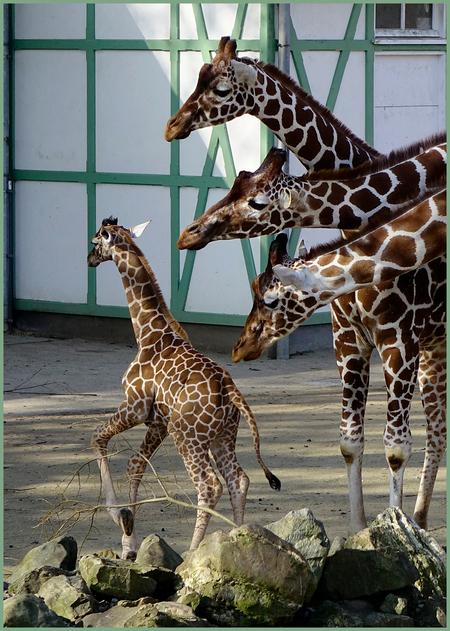 """Moederen..... - Het leek wel of het jong zeggen wilde:....""""niet allemaal"""". Gisteren in Artis genomen. groeten, Nel - foto door Nel Hoetmer op 13-03-2014 - deze foto bevat: humor, dieren, nel"""