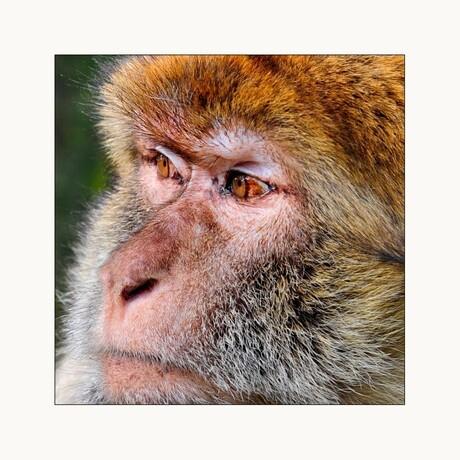Close-up foto van een berberaap