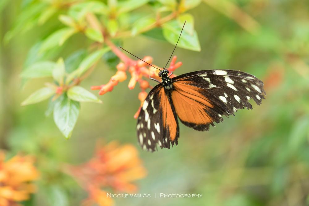 Versleten. - Vlindervleugeltjes kunnen verslijten, na heel veel vlieguren. Vleugels bestaan uit heel veel kleine schubben. Als deze beschadigen komen ze niet meer - foto door nicole-8 op 24-06-2020 - deze foto bevat: groen, macro, bloem, natuur, vlinder, bruin, geel, licht, oranje, tuin, tegenlicht, zomer, insect, contrast, vlindertuin, dof, pastel, bokeh, lightroom, nivas, manueel, vlinders aan de vliet, m stand, canon 80d