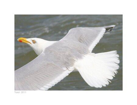zeemeeuw Texel ll - had nooit eerder vogels gefotografeerd, leuk om te doen... - foto door loesje1964 op 31-07-2011 - deze foto bevat: water, vogels, zeemeeuw, texel