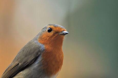 close-up roodborstje