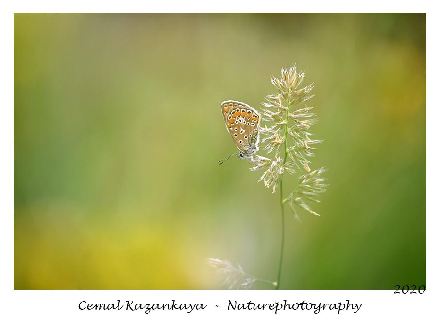 Blauwtje - Blauwtje.. - foto door CemalKazankaya op 09-08-2020 - deze foto bevat: groen, macro, wit, bladeren, bloem, natuur, vlinder, bruin, blauwtje, icarusblauwtje, geel, oranje, dieren, zomer, insect, dof, bokeh, cemal kazankaya