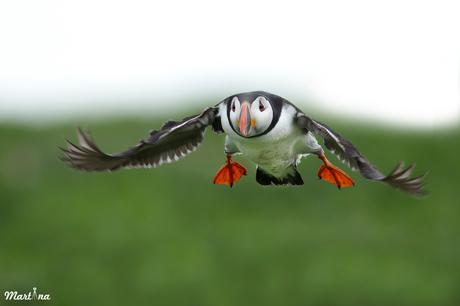 Puffin's landing