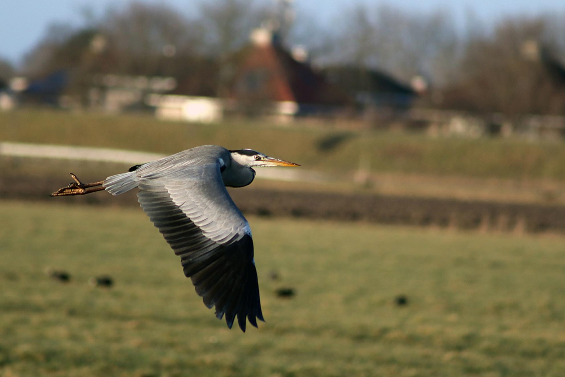 Luchtverkeer, pas op - - - foto door KarinSnoek op 26-02-2021 - deze foto bevat: natuur, vleugels, vogel, vliegen, reiger, watervogel