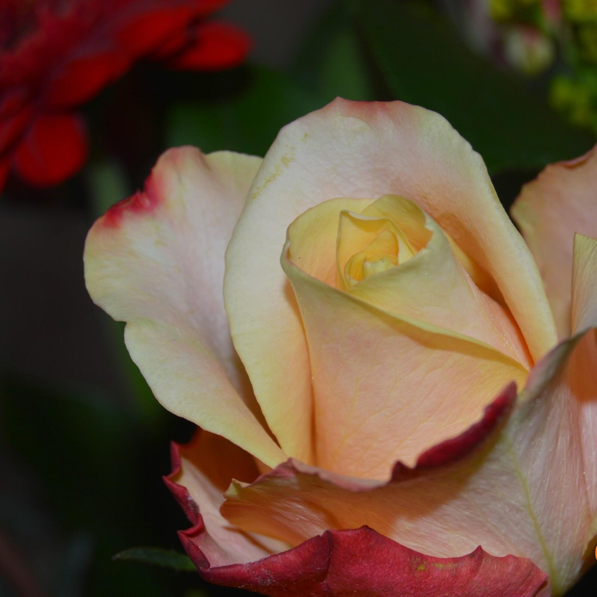 Roosje - - - foto door eduardw op 25-10-2014 - deze foto bevat: roze, macro, bloem, natuur, roos - Deze foto mag gebruikt worden in een Zoom.nl publicatie