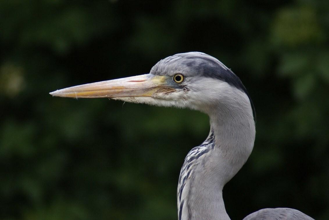 Close-up Reiger - Deze reiger zat op een hekje een vijver te inspecteren, kon lekker dichtbij komen! - foto door TrudyH op 17-05-2009 - deze foto bevat: natuur, vogels, dieren, vogel, reiger, reigers, trudyh