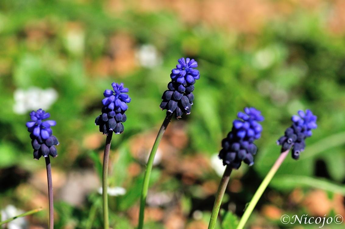 Druifjes..... - Overal staan ze in onze tuin.....wilde druifjes, ze komen gewoon op tussen de citrusbomen. - foto door ocelot_zoom op 27-02-2017 - deze foto bevat: natuur, voorjaar, spanje, blauwe druifjes, nicojo