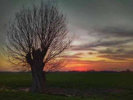 Knotwilgen Sunset