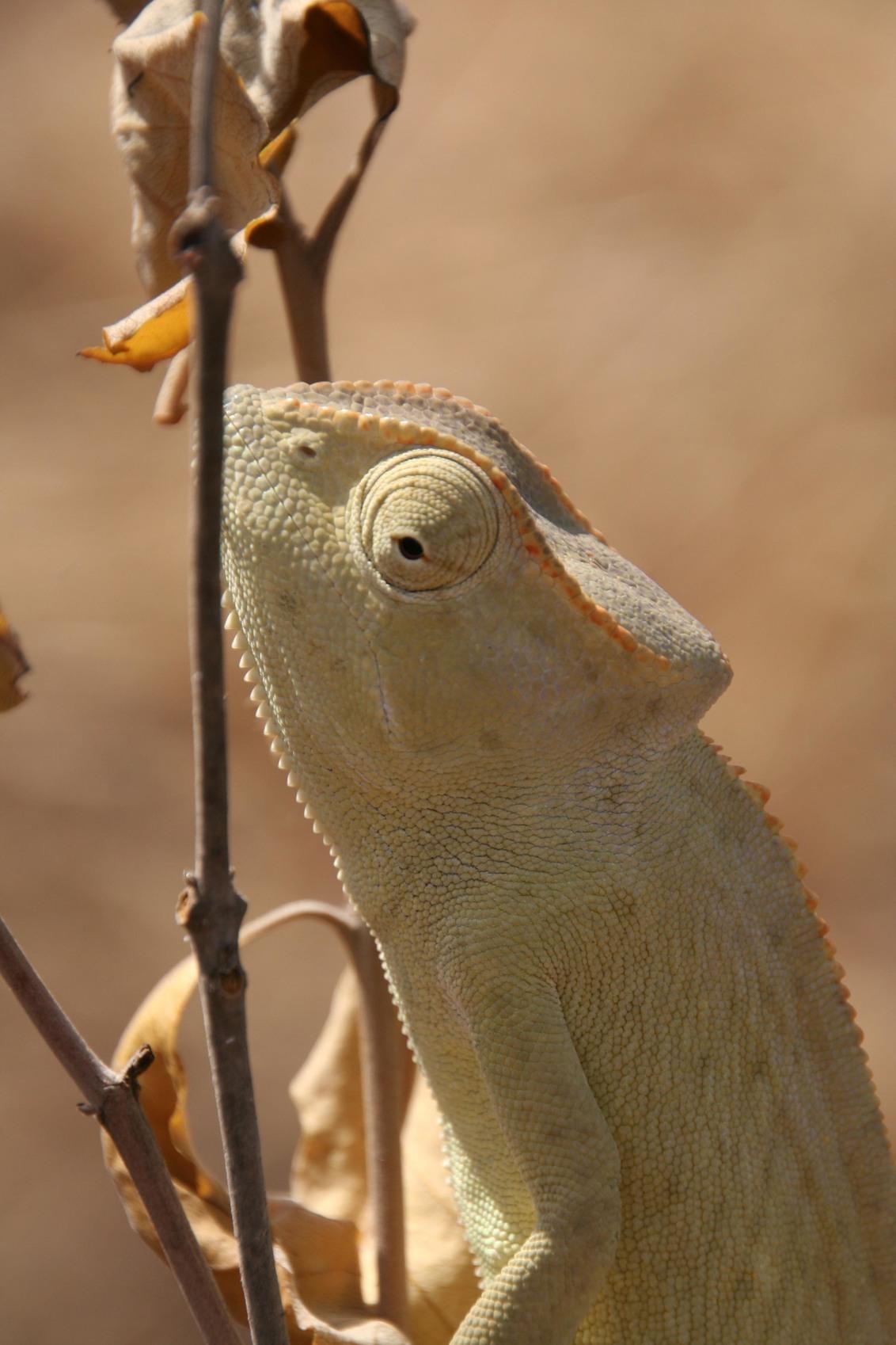 Kameleon - Senegal 2011 - foto door marc_v_o op 28-02-2017 - deze foto bevat: dieren, safari, afrika, wildlife, kameleon