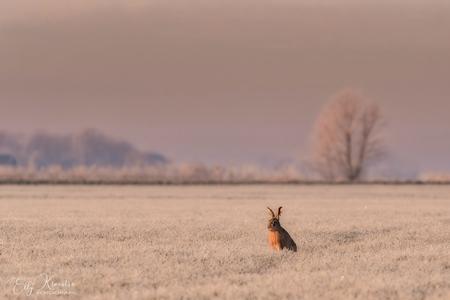 Haas in een winters tafereel - - - foto door Ellyfotografie op 08-03-2021