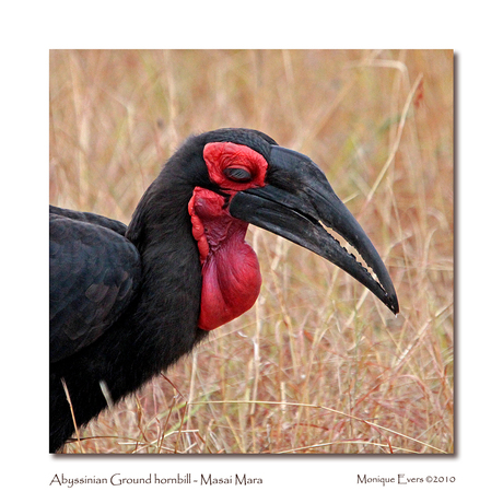 Abyssinian Ground hornbill - Masai Mara