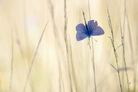 Blauw - Prachtig gezicht als je de blauwtjes 's morgens ziet opwarmen met de vleugels open. - foto door Paul1973_zoom op 07-08-2017 - deze foto bevat: macro, natuur, vlinder, blauwtje, licht, sfeer, dauw