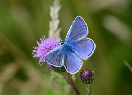 Icarusblauwtje (man) - Een Icarusblauwtje (man) is zojuist neergestreken op deze distel. - foto door FocusV op 25-07-2020 - deze foto bevat: macro, bloem, natuur, vlinder, insect, nederland