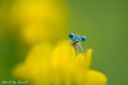 Goodmorning - Het blijft een leuk kat en muis spel. Bedankt voor de fijne reacties op mijn vorige foto. Groeten, Francis. - foto door Francis-Dost op 30-05-2018 - deze foto bevat: groen, macro, bloem, lente, juffer, natuur, geel, insect, dof