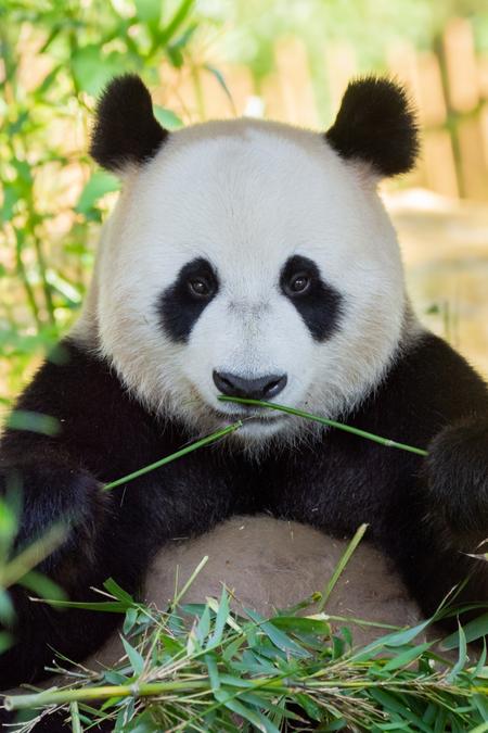 Panda panda - - - foto door Bianca Schmidt op 23-02-2021 - deze foto bevat: dierentuin, dieren, wildlife, panda