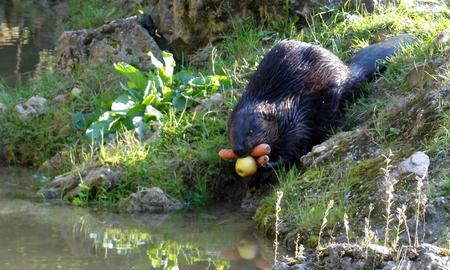 bever met appel en wortels - deze bever was met voedsel op weg naar zijn nest. Nog net kunnen fotograferen voordat hij onder water verdween - foto door marij op 26-04-2016 - deze foto bevat: dierentuin, bever
