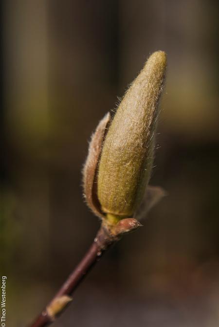 awakening-2 - ook de magnolia ontwaakt - foto door TheoWestenberg op 19-03-2014 - deze foto bevat: voorjaar