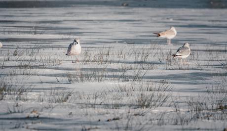 vogels op het ijs