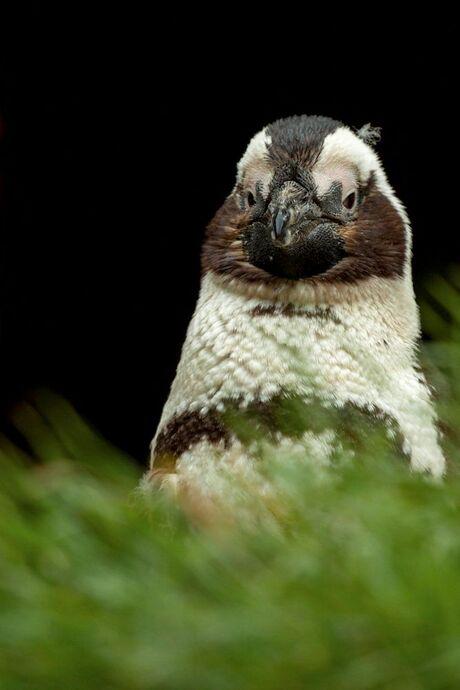 Jonge pinguin.