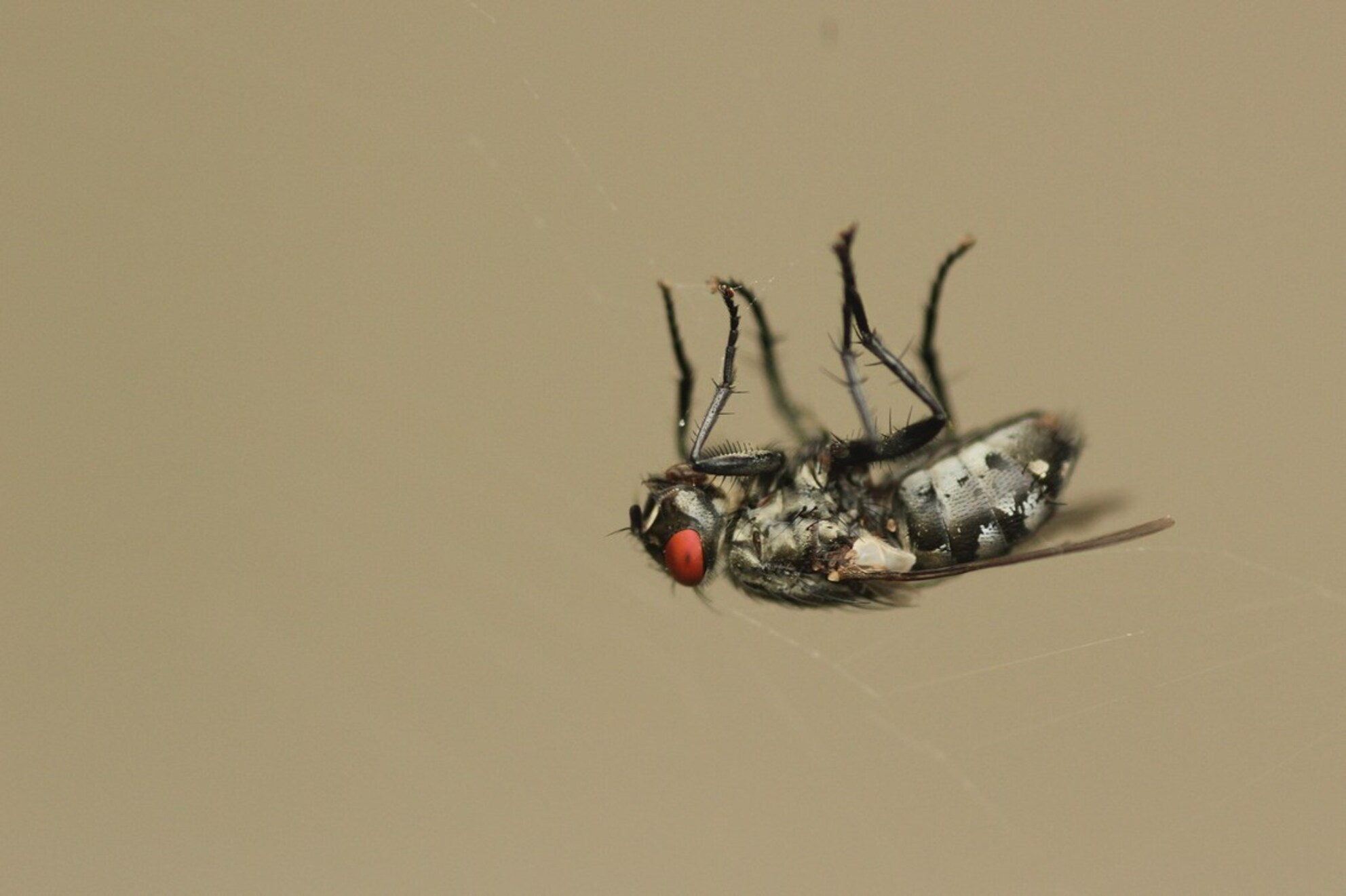 Daar hang ik dan... - ...klaar om opgegeten te worden. Afgelopen zaterdag vloog deze vlieg in een spinnenweb, na een aantal injecties van de spin hing hij er zo bij. Zo  - foto door kasoracing op 23-09-2013 - deze foto bevat: macro, natuur, vlieg, zeeland, andres, kasoracing
