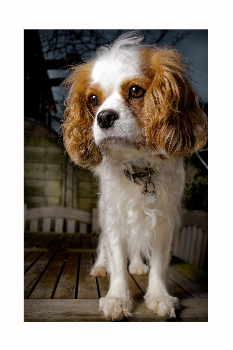 saartje - doggie in de tuin - foto door ribbelbussie op 16-01-2011 - deze foto bevat: hond, honden, saartje, king charles cavelier, kleine hond