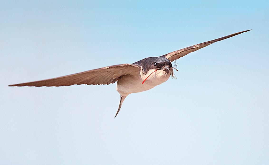HUISZWALUW MET VUURJUFFER - De buit is deze keer herkenbaar... - foto door swimmaster op 15-07-2013 - deze foto bevat: in, jacht, zwaluw, vlucht, flight, hunting, swallow, jagend, Scheervlucht