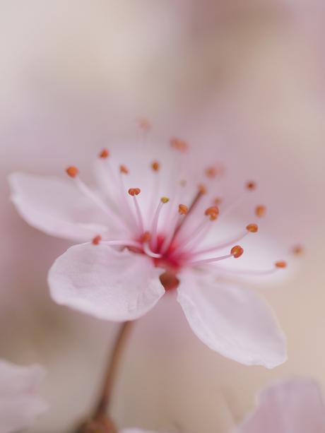 Kersenbloesem in detail