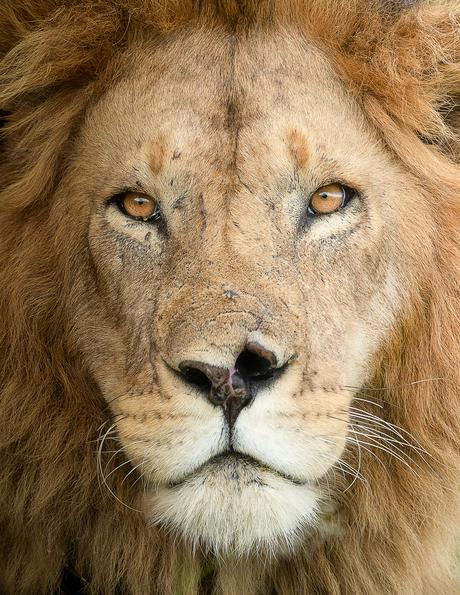 Leeuw close-up