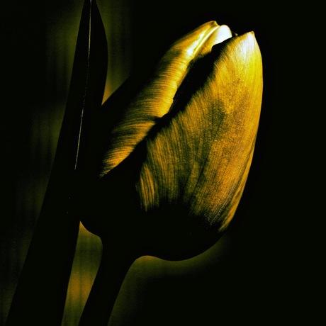 tulp in het donker.
