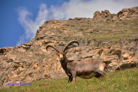 Steenbok in de Alpen