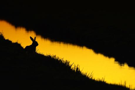 Hare in black