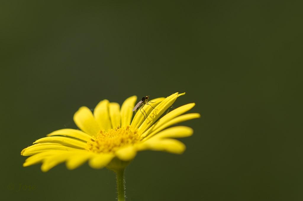 Hartblad zonnebloem met..... - steltvliegje. De Latijnse naam van de bloem is; Doronicum pardalianches. Veel was er afgelopen zondag niet te beleven in de Hortus, zonnetje wilde  - foto door Jozeeke op 03-06-2014 - deze foto bevat: macro, hortus, jozeeke, hartbladzonnebloem