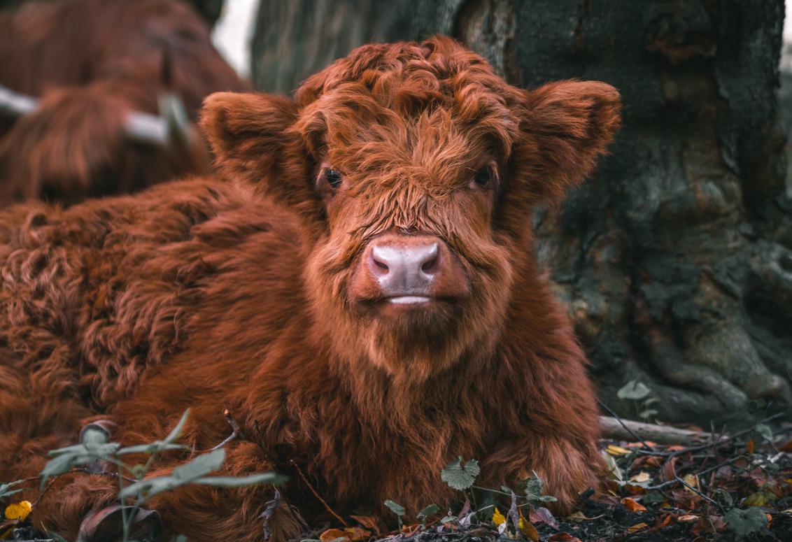 Fluffy baby Schotse Hooglander - Deze knapperd lag lekker van het weer te genieten op zijn eiland (Eiland van Brienenoord). Deze beestjes blijven zo fotogeniek. - foto door Ariscaa op 27-10-2019 - deze foto bevat: koe, dieren, hooglander, baby, wildlife, fluffy, schotse hooglander