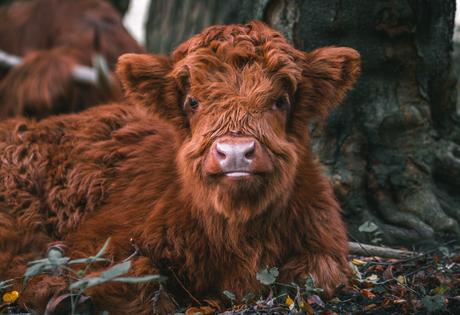 Fluffy baby Schotse Hooglander